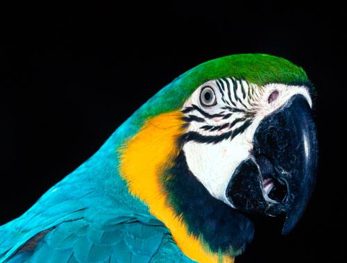 орнитоз у попугаев