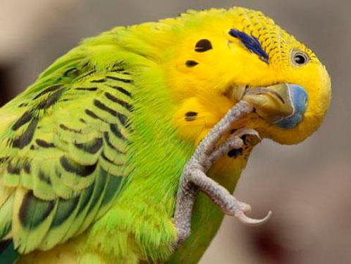 подагра у попугая