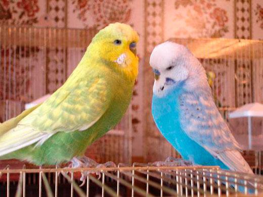 волнистый попугай чихает