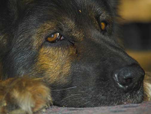 лимфосаркома у собаки