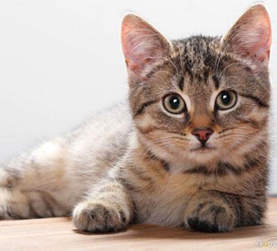 пупочная грыжа у кошек